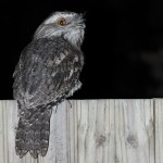 Tawny Frogmouth in a suburban Brisbane backyard, February 2011