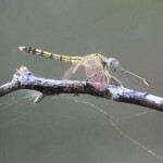 20130120_Whites Hill_Blue Skimmer-900
