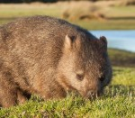 CommonWombat (Custom)