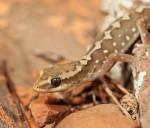 RangesStoneGecko (Custom)