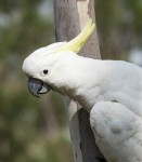 SulphurCrestedCockatoo (Custom)