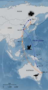 The migration route of the Eastern Curlew takes it through several countries. The whole population passes through the Yellow Sea region of East Asia. The route of a female tagged on 10 Feb 1997 is shown redrawn from data in Driscoll & Ueta (Ibis, 144, E119-E130)