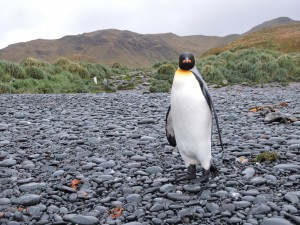 King penguin at Green Gorge